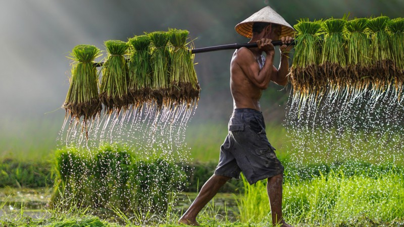 Farmer in asia carrying his harvest through a field