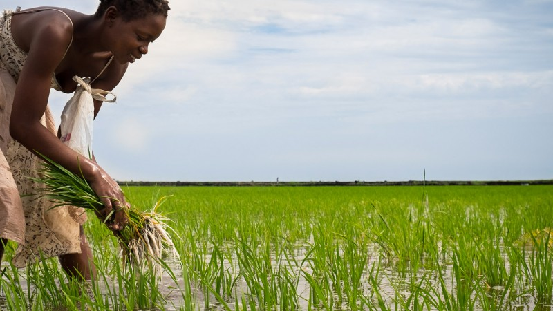 African lady harvesting rice